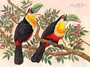 Audubon Drawings Posters - Green-billed Toucan Poster by Nelson Caramico