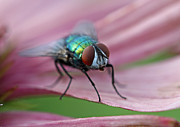 Insects Artwork Photo Posters - Green Bottle Fly Poster by Juergen Roth