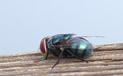 Annoying Metal Prints - Green Bottle Fly  Metal Print by Julia