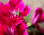 Red Flower Posters - Green Bottle Fly on Dianthus  Poster by Rona Black