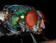 Bug Eye Prints - Green Bottle Fly Print by Paul Ward