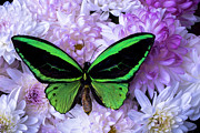Garry Gay - Green butterfly and mums
