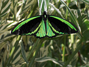 Brenda Brown Framed Prints - Green Butterfly Framed Print by Brenda Brown