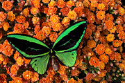 Garry Gay - Green Butterfly