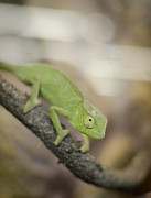Greens Framed Prints - Green Chameleon Framed Print by Heather Applegate