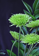 Bonnie Willis - Green Chrysanthemums