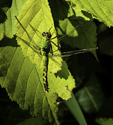 Junius Posters - Green Darner Dragonfly  Poster by Thomas Young