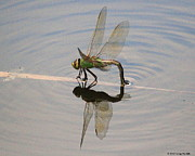 Dragonflies Originals - Green Darner by Greg Hill