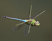 Blue Darner Dragonfly Posters - Green Darner In Flight Poster by Robert Woodward