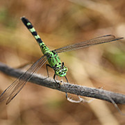Beautiful Eyes Posters - Green Dragonfly Squares Poster by Carol Groenen