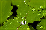 Raindrops On Leaves Framed Prints - Green Drops Framed Print by Crystal Wightman