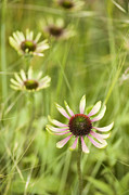 Coneflowers Photos - Green Envy by Anne Gilbert