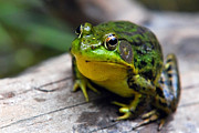 Green Frog Prints - Green Envy Print by Christina Rollo
