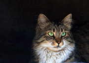 Domestic Pet Portrait Prints - Green Eyes Print by Stylianos Kleanthous