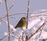David Bishop Art - Green Finch in the Snow. by David Bishop