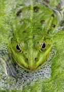 Green Frog Print by Matthias Hauser