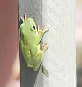 Tiny Tree Frog Prints - Green Froggy Print by Cathy Lindsey