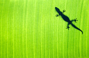 Green Gecko Leaf Print by Sean Davey
