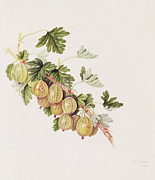 Botany Painting Prints - Green Gooseberry Print by William Hooker