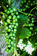 Vineyard Art Posters - Green Grapes Poster by Colleen Kammerer