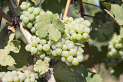Pinot Noir Photos - Green Grapes Growing on Grapevines Closeup by JPLDesigns