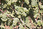 Pinot Noir Photos - Green Grapes Growing on Grapevines by JPLDesigns