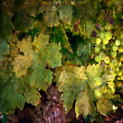 Vine Leaves Digital Art Posters - Green Grapes Poster by Karen  Burns