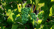 Pinot Noir Framed Prints - Green green grapes of home. Framed Print by Stan Angel