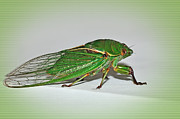 Cicada Photos - Green Grocer Cicada by Kaye Menner