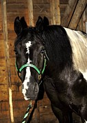 Equine Pyrography Prints - Green Halter Two Print by Donna Stiffler