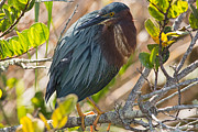 Natural Focal Point Photography - Green Heron 1