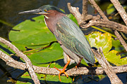 Natural Focal Point Photography - Green Heron 2