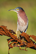 Green Heron Print by Andres Leon
