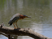 Chico Framed Prints - Green Heron At Teichert Ponds Framed Print by Robert Woodward
