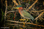 Florida Nature Photography Originals - Green Heron basking in sunlight by Barbara Bowen