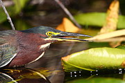 Heron Photos - Green Heron by Bruce J Robinson