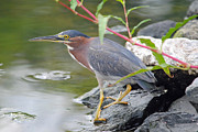 Tidal Photographs Posters - Green Heron by the Pond Poster by Carla Mason