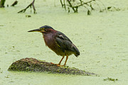 Doug McPherson - Green Heron