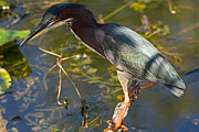 Natural Focal Point Photography - Green Heron Goes Fishing