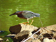Teresa Cox - Green Heron hunting for...