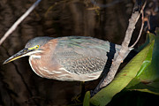 Natural Focal Point Photography Metal Prints - Green Heron in the Everglades Metal Print by Natural Focal Point Photography