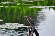 Backed Posters - Green Heron Perch Poster by Al Powell Photography USA