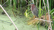 Florida Flowers Pyrography Framed Prints - Green Heron Framed Print by Ron Davidson
