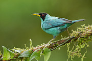Juan Carlos Vindas - Green Honeycreeper male...