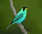 Neotropics Posters - Green Honeycreeper Poster by Tony Beck