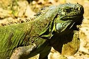 Adam Jewell - Green Iguana