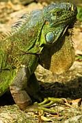 Adam Jewell - Green Iguana In Cozumel