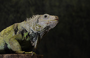 Keith Lovejoy - Green Iguana