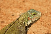 Richard Stillwell - Green Iguana