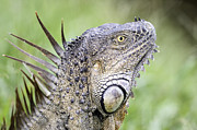 Thomas Chamberlin - Green Iguana